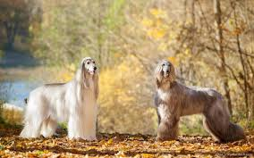 afghan hound therapy dog the 30 most expensive dog breeds to own u2013 las vegas review journal