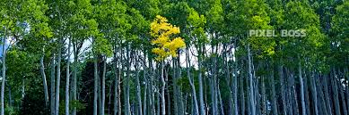 stand out aspen trees turning in autumn pixel boss ultra high stand out aspen trees