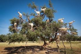 brown tree the luxurious from these tree climbing goats produces argan