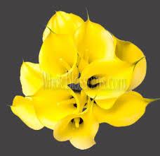 yellow calla mini calla choose your colors 200 stems