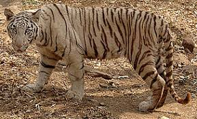 frequently asked questions tiger wwf india