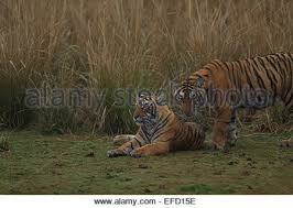 royal bengal tiger and cubs in ranthambhore national park