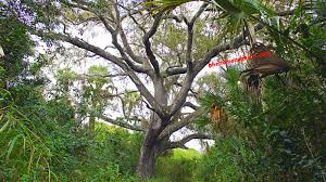 s tree florida what s the story this haunted tree