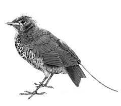 delap studies urban birds sketches for book u0027subirdia u0027 due out in
