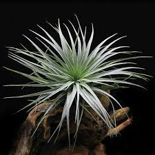 tillandsia houston cherry princess air plant with buds for large