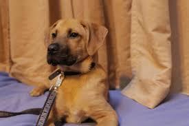 belgian shepherd nova scotia vancouver bc belgian malinois meet leo adoption pending a dog