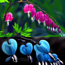 bleeding heart flower 10pcs perennial herbs dicentra spectabilis flower plant bleeding