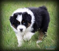 australian shepherd for sale australian shepherd puppies available for sale