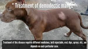 skin diseases in dogs pitbull breed demodeccia canina youtube