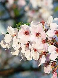 yoshino cherry tree deciduous flowering trees plant me green