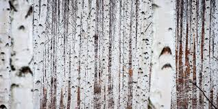 birch tree decor the problem with the birch tree decor trend that no one talks