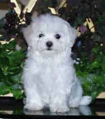 bichon frise 7 weeks old maltese dog and puppy size weight does it matter