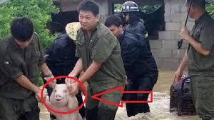 Meme Babi - babi ini baru selamat dari banjir tapi wajahnya bikin netizen