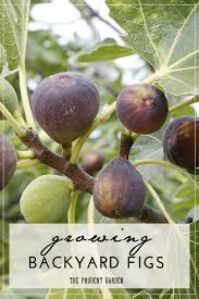 growing backyard figs figs gardens and fruit trees
