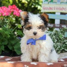 puppies for sale pa biewer yorkie puppies for sale greenfield puppies