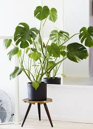 Fragrant Indoor Plants Low Light - best 25 big leaf plants ideas on pinterest big indoor plants