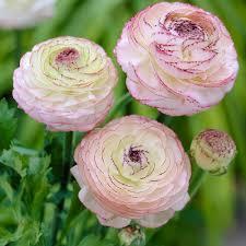 non flowering flower bulbs garden plants u0026 flowers the home