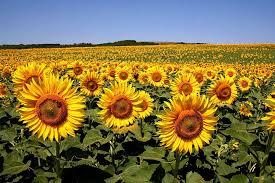 salina ks sunflower field by kansas state university facts about sunflowers in kansas ug99