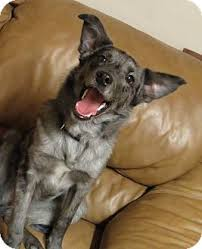 australian shepherd idaho smokie adopted dog meridian id border collie australian