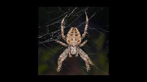 halloween spider webbing transparent background video spiders spin electric web science aaas