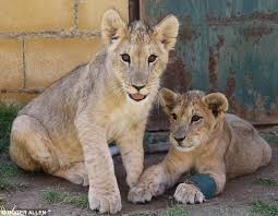 lions for sale lion cubs rescued from as a photo opportunity in spain