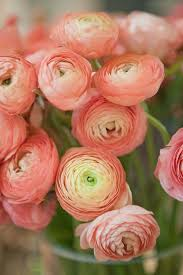 peach ranunculus flowers ranunculus flowers who would love a