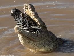 zebra swallowed crocodile kenya daily mail