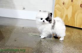 puppies indiana adorable and cuddly pomeranian puppies are av in indianapolis