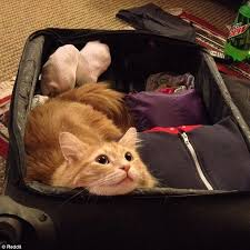 Alabama traveling with cats images Photos of miserable pets watching their owners pack for holiday jpg