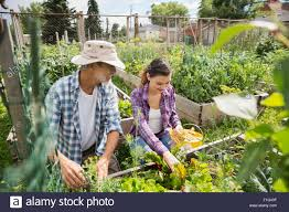 father and daughter tending to vegetable garden stock photo