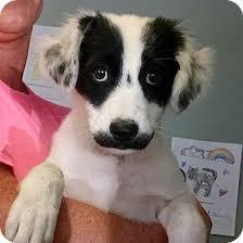 australian shepherd adoption australian shepherd border collie mix dog for adoption in