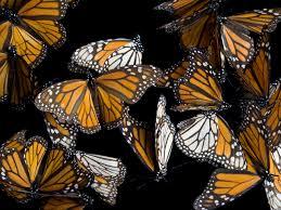 sierra chincua monarch butterflies pictures cbs news
