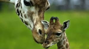 baby giraffe 681599 walldevil