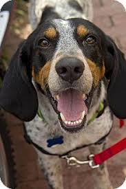 videos of bluetick coonhounds bluetick coonhound coonhounds u0026 other hounds pinterest
