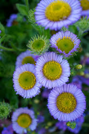native plants natural areas notebook seaside daisy erigeron glaucus a california native by flora