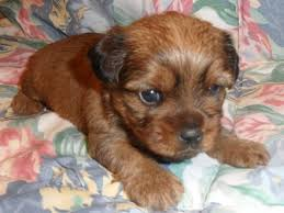 pictures of shorkie dogs with long hair 24 pictures of shih tzu yorkie mix a k a shorkie and breed info
