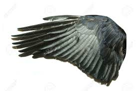 Bird Wing - bird wings isolated on white stock photo picture and royalty free