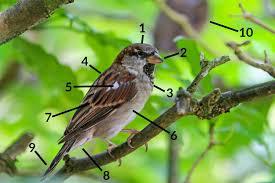 identifying birds house finch or purple finch