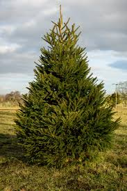 the christmas aspect 240 270cm norway spruce