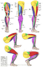 10 best the muscular system images on pinterest muscular system