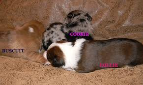 australian shepherd dachshund contact us