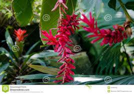 Red Ginger Flower - red ginger flower stock photography image 31033722