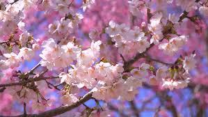flower cherry tree branch blossom background sun
