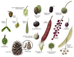 best 25 tree seeds ideas on seed pods maple tree