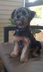 19 best yorkie poo haircuts images on pinterest yorkies animals