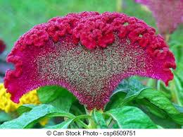 cockscomb flower closeup of pink celosia argenta cockscomb flower stock photography
