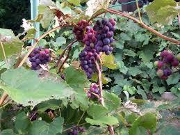 Grape Vine Pergola by How To Grow Grapes Growing Grapes Garden Grapes Grape Vines