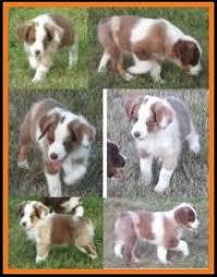 miniature australian shepherd 8 weeks old mini aussie pup for sale 2014 litter 5 callie pup 2 red merle