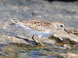 least sandpiper identification all about birds cornell lab of