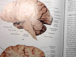 Brain Stem Anatomy Anatomy 2 Lecture 2 2 The Brain Stem Youtube